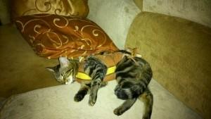 Пиометра у беременных и родивших кошек