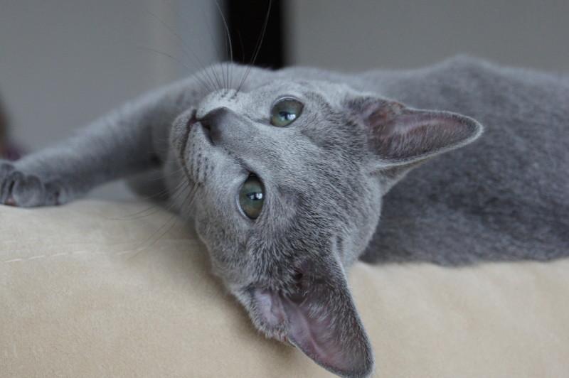 Русская голубая кошка серого цвета
