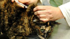 Вакцинация кошки от чумки