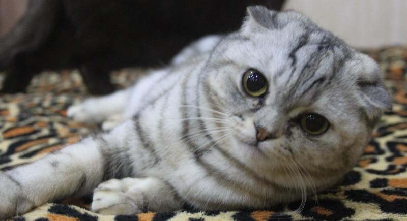 Шотландская короткошерстная кошка (скотиш-фолд)