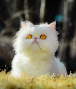 Желтые глаза у белой кошки