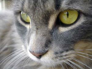 Зрение у кошек