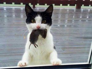 Кошка-крысолов