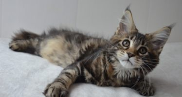 Кошки с кисточками на ушах