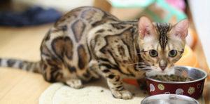 Бенгальский котенок ест