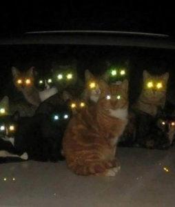 Светятся глаза у кошек