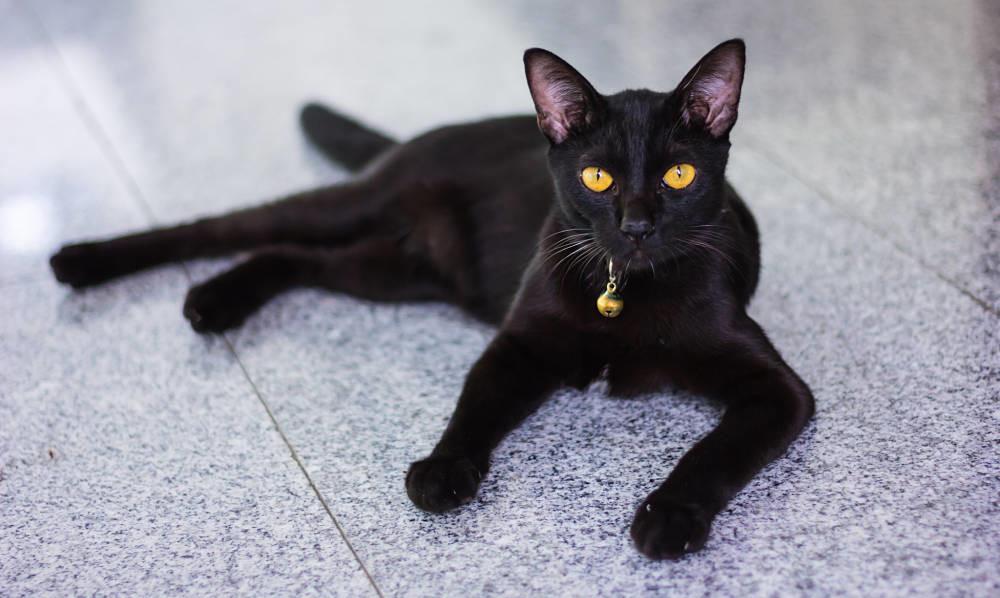 Породы кошек черного окраса