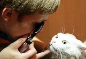 Диагностика катаракты у кошек