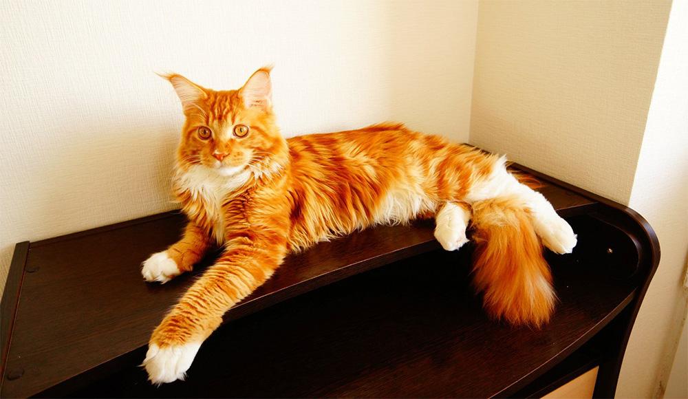 Рыжие кошки породы «мейн-кун»