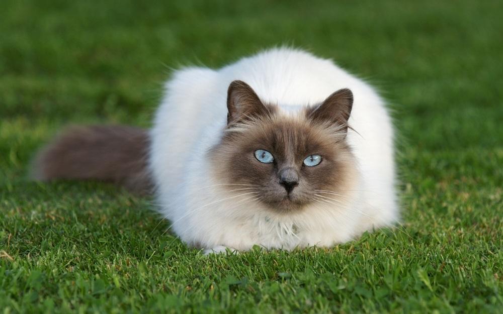 Список пушистых пород кошек