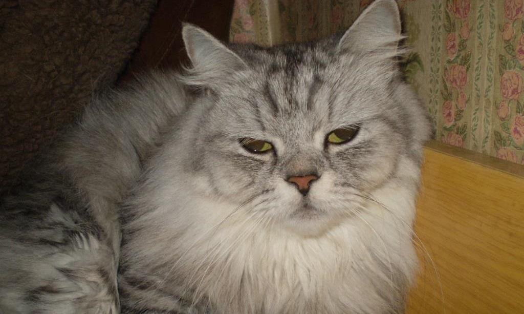 Как передается лейкемия у кошек