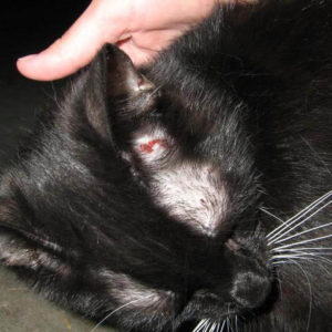 Грибок у кошки