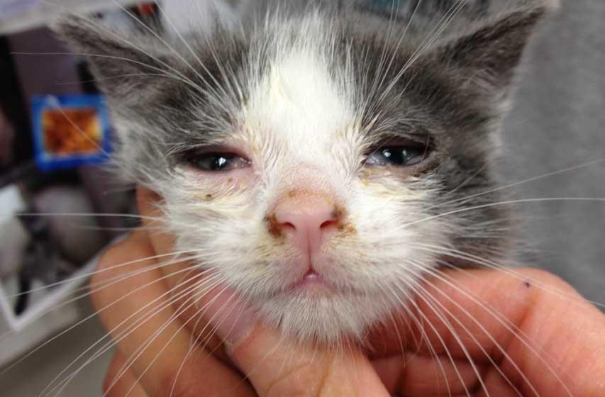 Симптомы лейкоза у кошек
