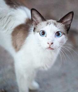 Охос Азулес кошка с голубыми глазами