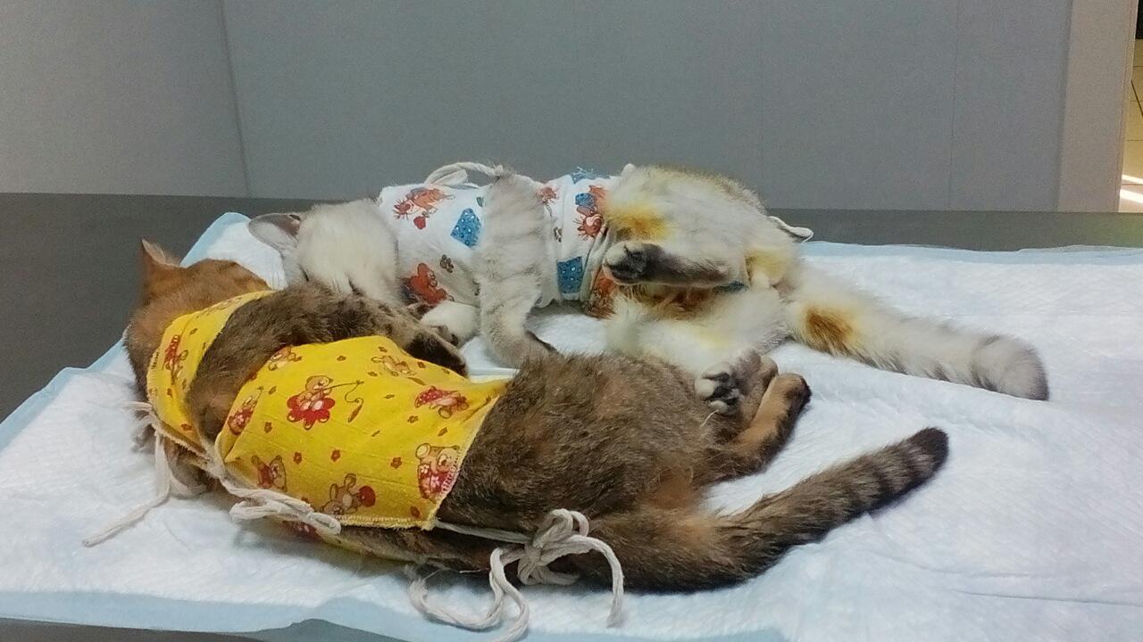 Формы лейкемии у кошек