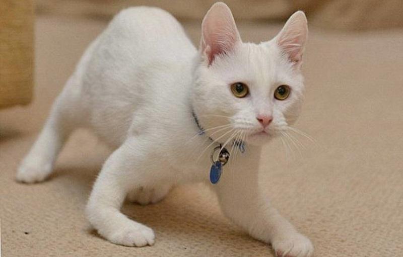 Симптомы рахита у кошек