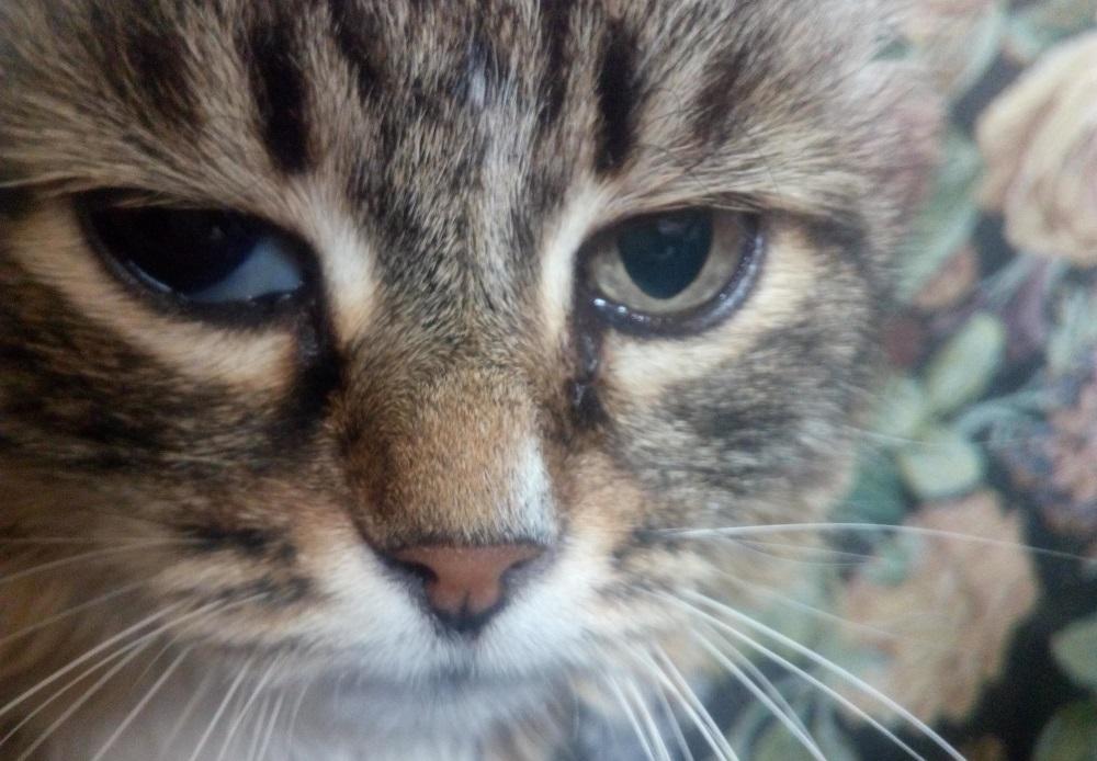 Выпадение века у кошек