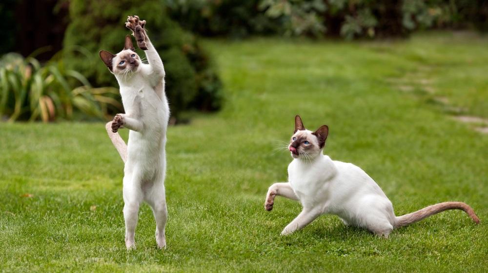Профилактика инфаркта у кошек