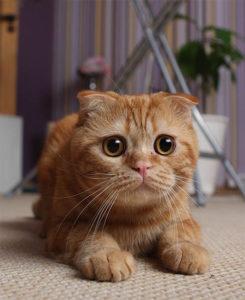 Течка у кошек разных пород