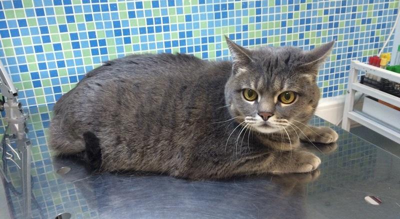 Лечение лейкемии кошек