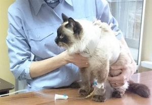 Вирус иммунодефицита кошек и методы лечения