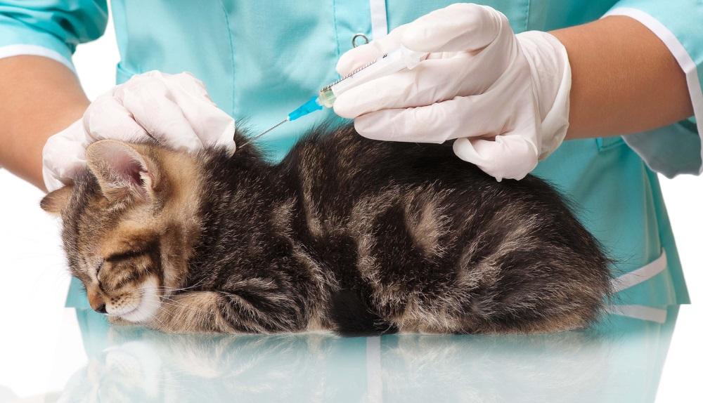 Вакцинация кошек от лейкоза