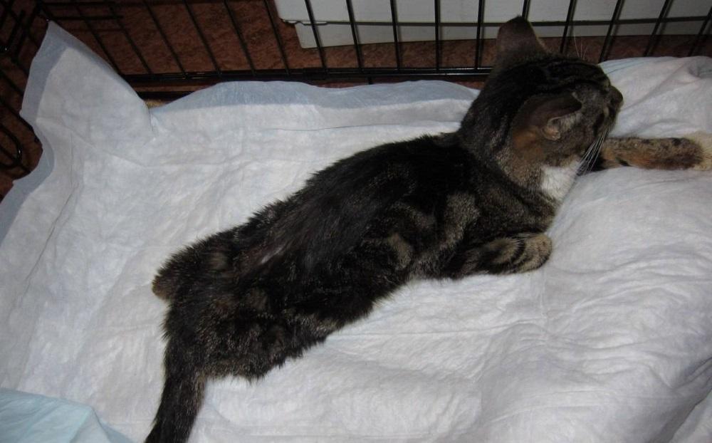 Кошка с отеком легких