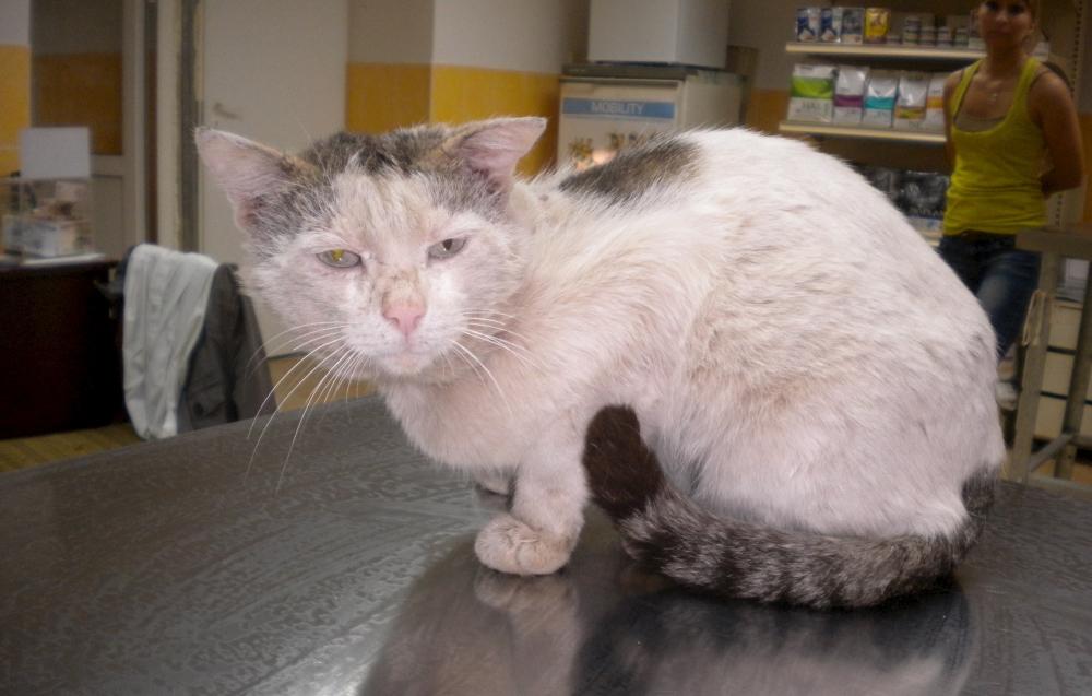 Кот страдающий саркоптозом