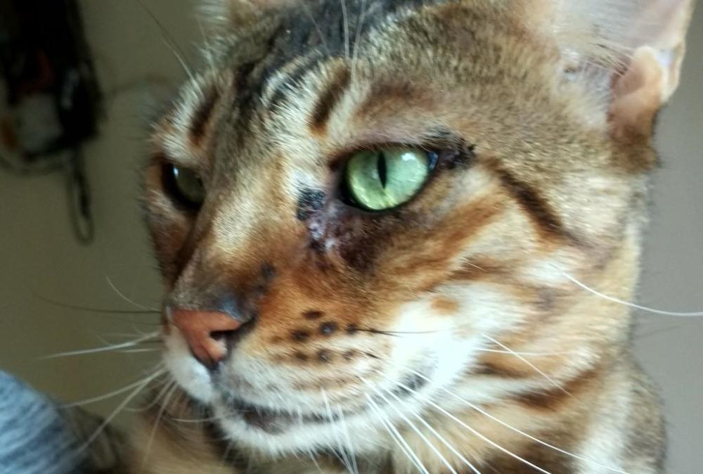 Кот с ринотрахеитом