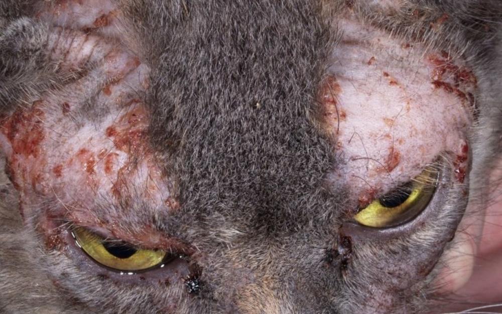 Дерматит у кошки