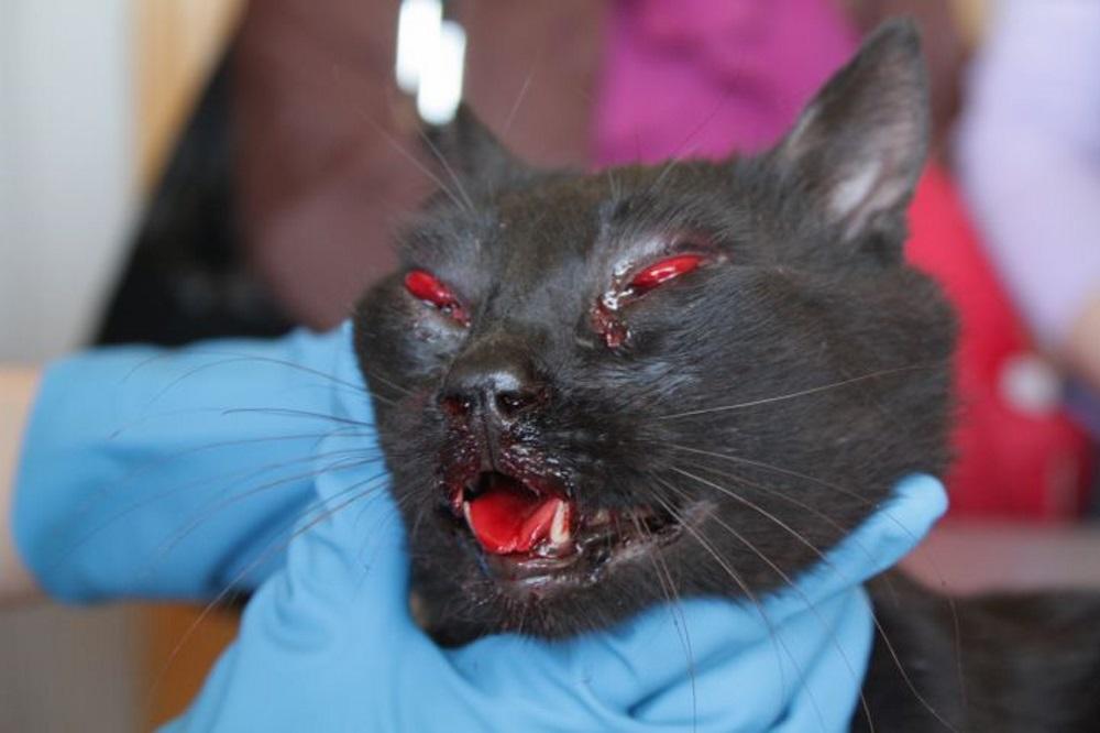 Кошки кровь картинки