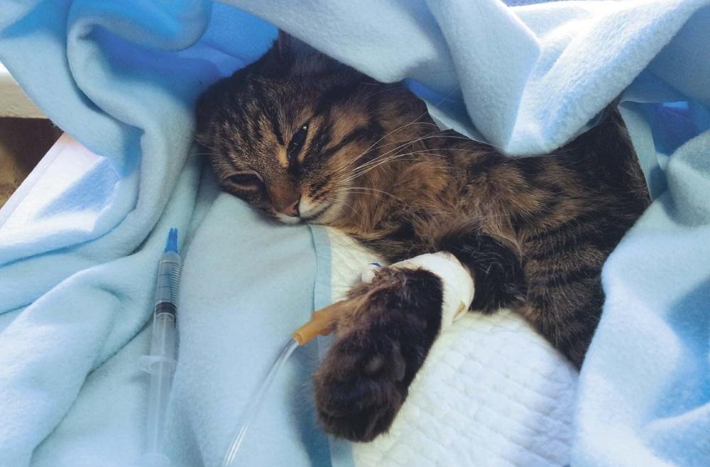 Кошке ставят капельницу