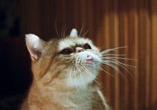 Кошка показывает язык