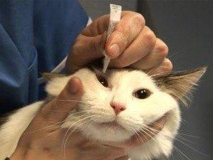 Коту закладывают мазь