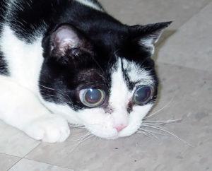 Черно-белый кот с глаукомой