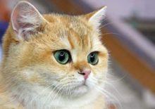 Увеит у кошек