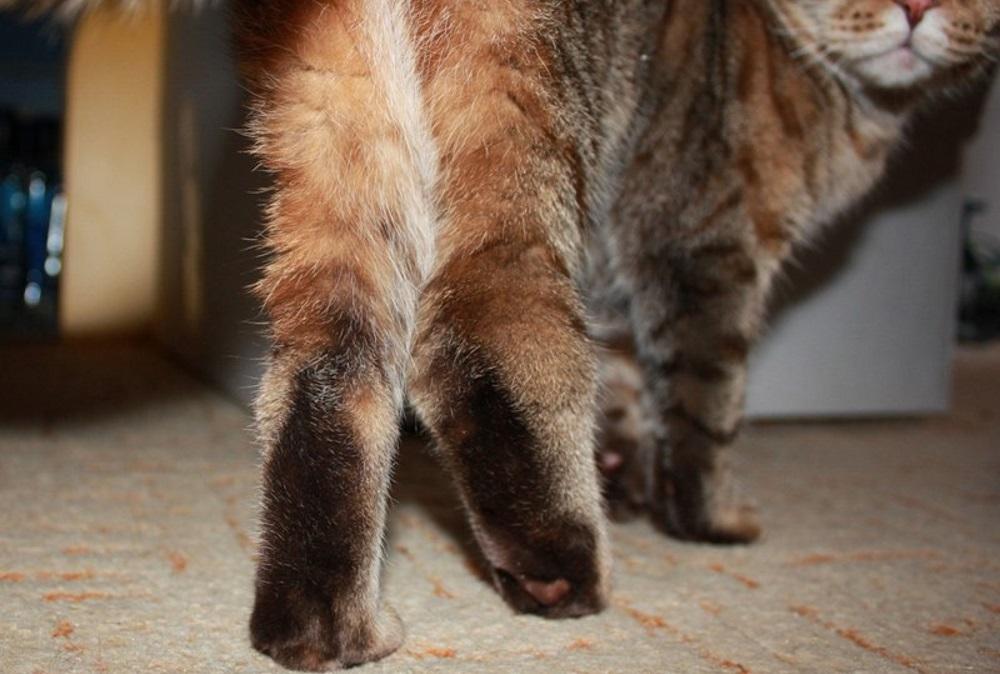 Артроз у кота