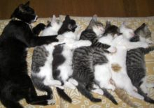 Сколько хромосом у кошки