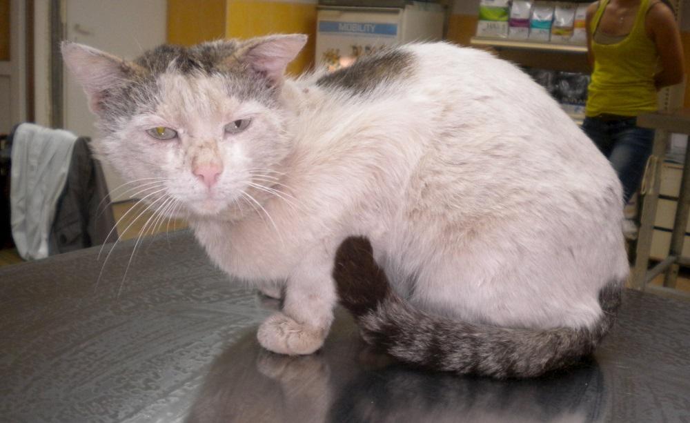 Саркоптоз у кота