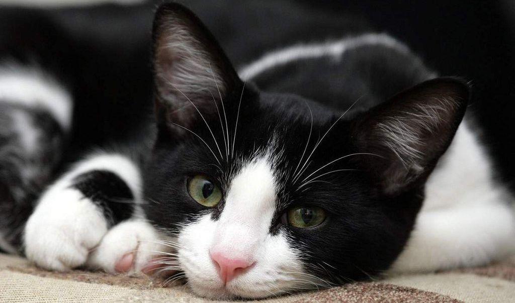 Тиопротектин для кошек