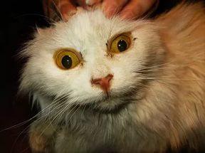 Кот с желтухой