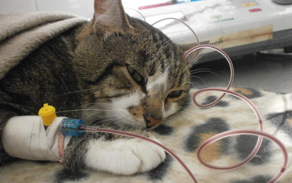 Коту делают переливание