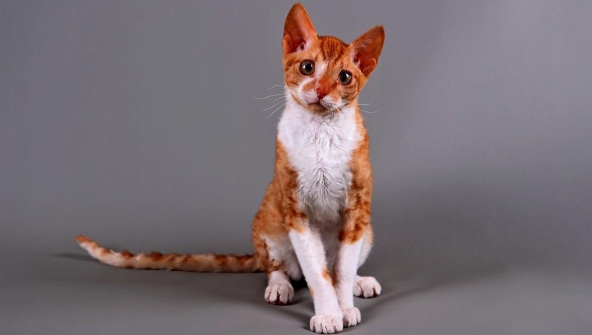 .Кудрявые породы кошек
