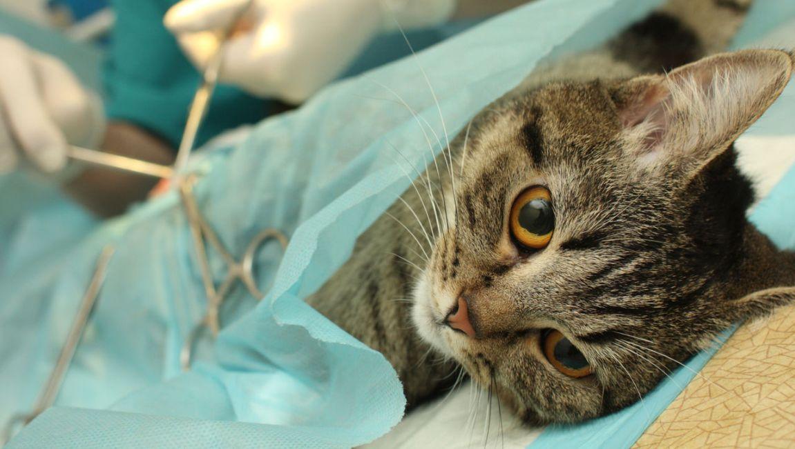 Струвиты в моче у кошки