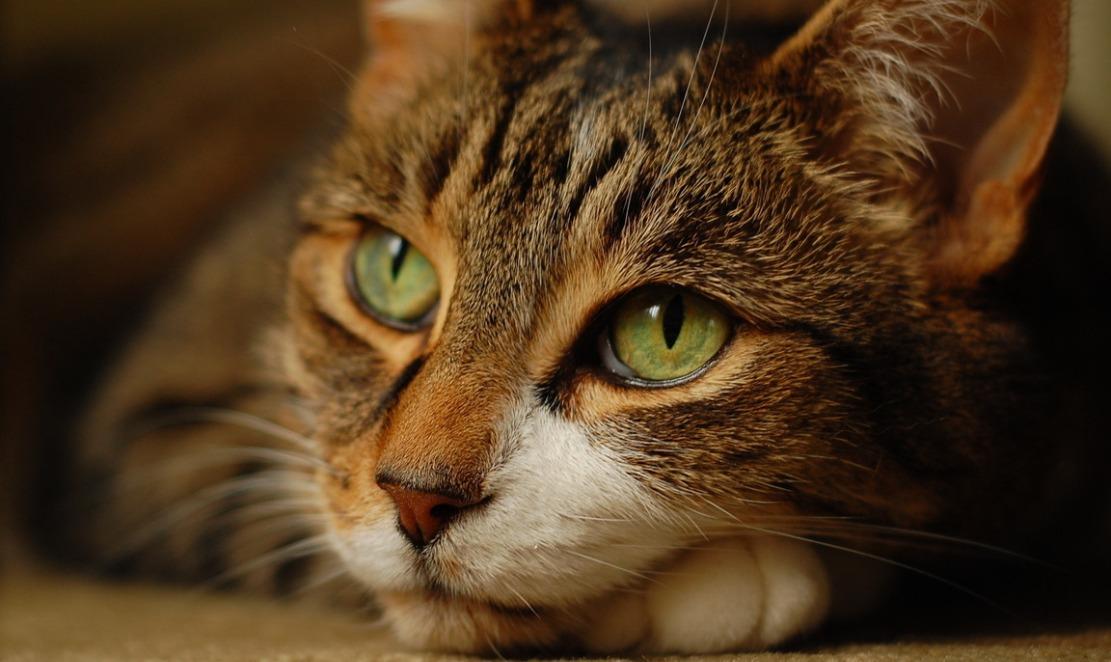Черные точки на подбородке у кошки
