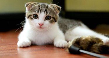 Имя для шотландской кошки