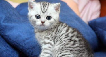 Порода кота из рекламы