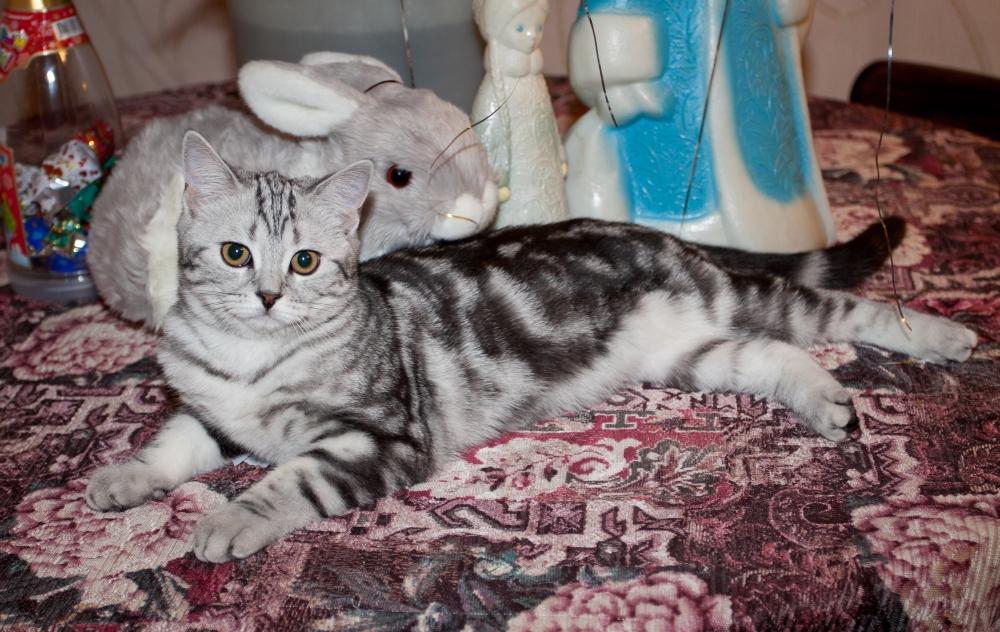 Кошка скоттиш-страйт