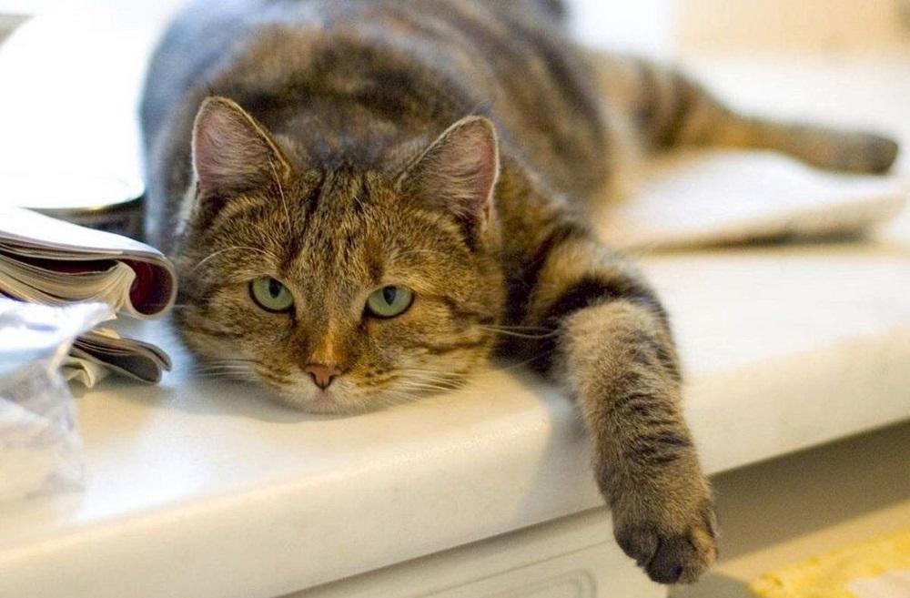 Кот лежит