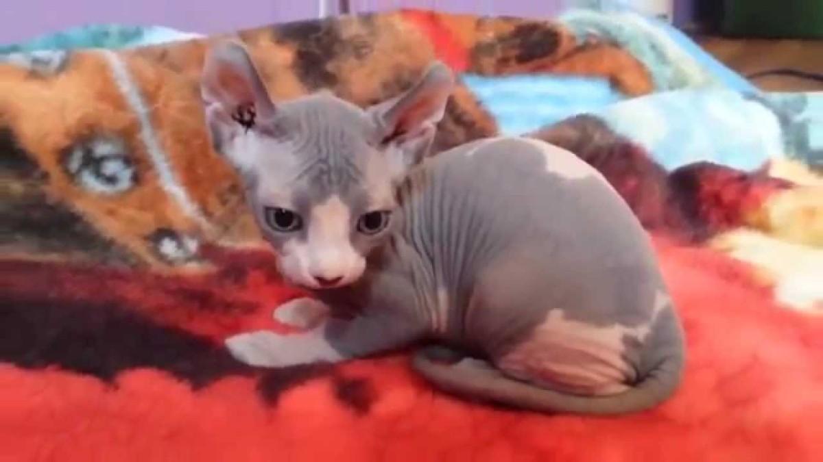 Кошка породы эльф
